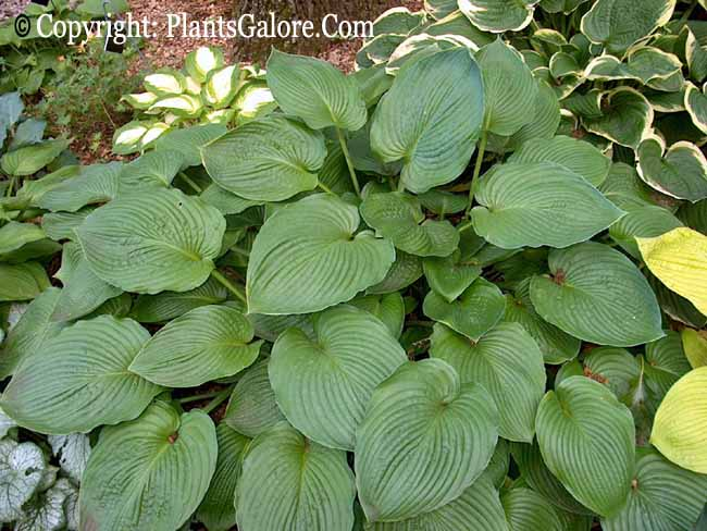 Type Of Hostas Garden Design Ideas