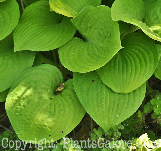 Hosta Imperial Hosta 'imperial Moth From The