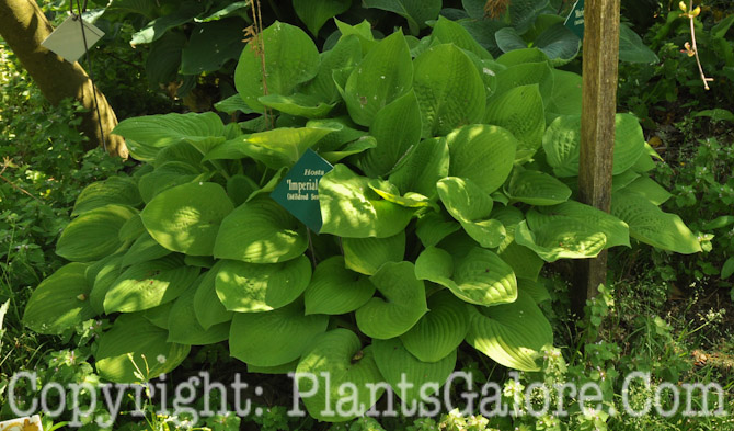 Hosta Imperial Hosta 'imperial Palace' From