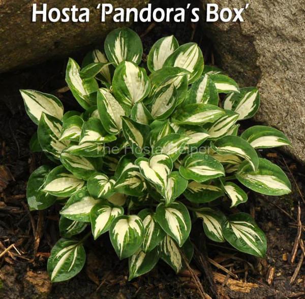 Hosta Plant Size Characteristics From Hosta Helper By Plantsgalorecom