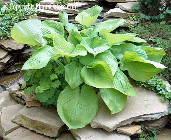 Hosta Sum And Substance From The Hosta Helper Presented By