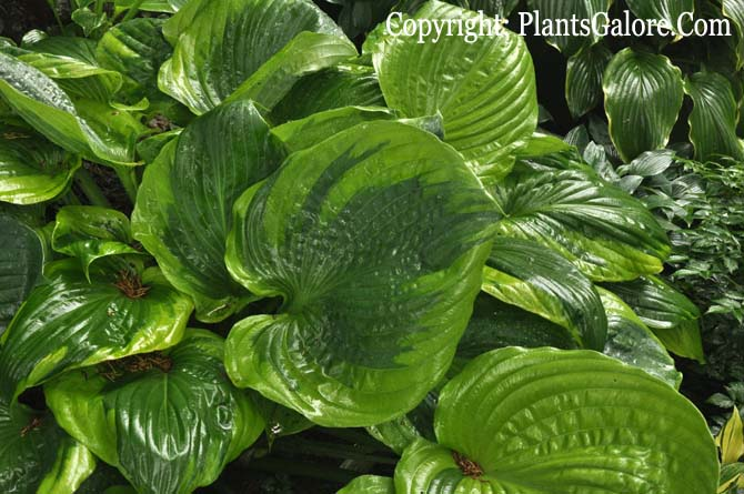 Hosta Sum Of All From The Hosta Helper Presented By Plantsgalorecom