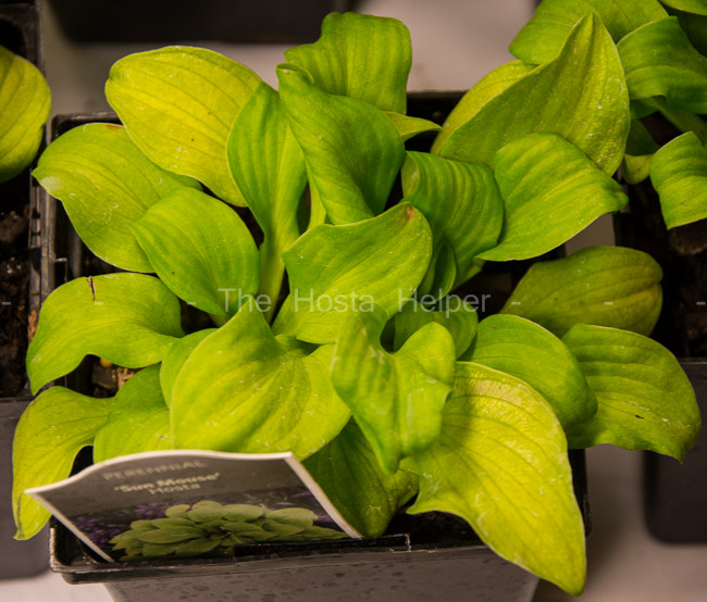 17 Hosta Sun Mouse From The Hosta Helper Presented By