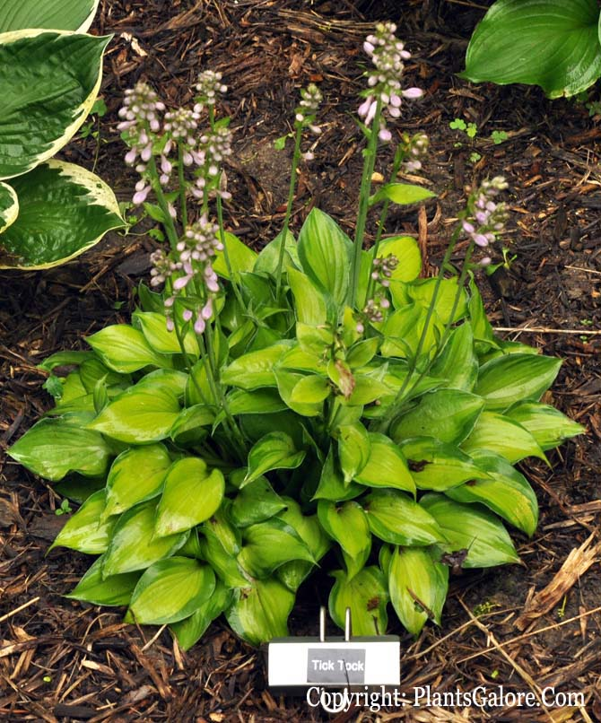 Hosta 'Tick Tock' from The Hosta Helper - Presented by ...