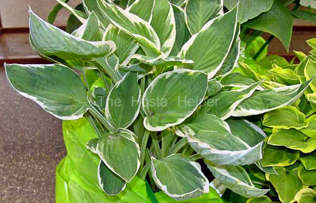 Hosta Zagers White Edge From The Hosta Helper Presented By