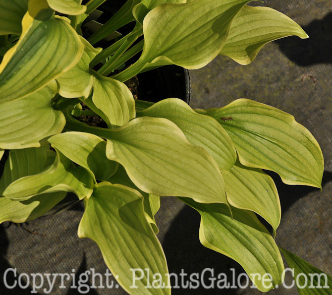Hosta Opipara Group From The Hosta Helper Presented By