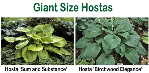 Hosta Plant Size Characteristics From Hosta Helper By Plantsgalorecom