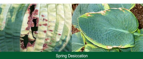 Desiccation Damage To Hostas Hosta Pests From The Hosta Helper