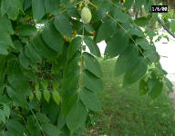 Walnut Toxicity - Plant Insect, Disease and Environmental