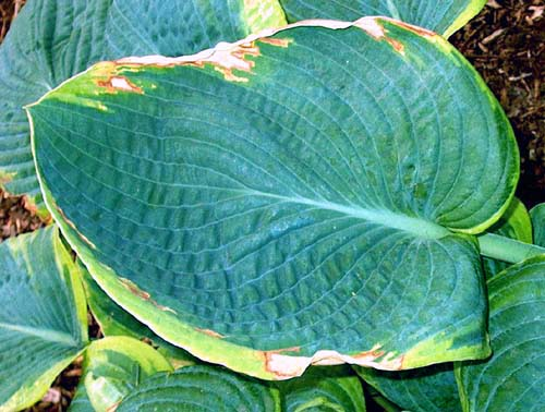 Desiccation Damage To Hostas Hosta Pests From The Hosta Helper