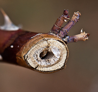 Insect Types Rose Borers Plant Insect Disease And