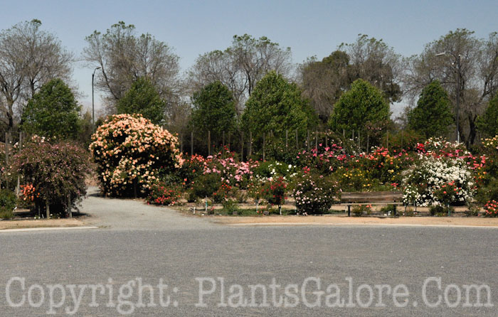 San Jose Heritage Rose Garden Usa Gardens Parks Squares And Open Spaces Presented By