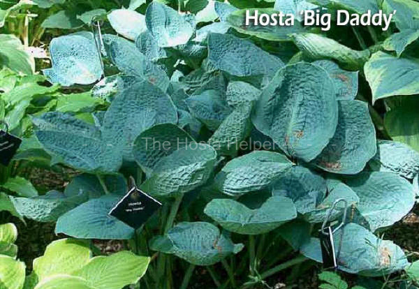 hosta leaf color from the hosta helper by plantsgalore com. Black Bedroom Furniture Sets. Home Design Ideas