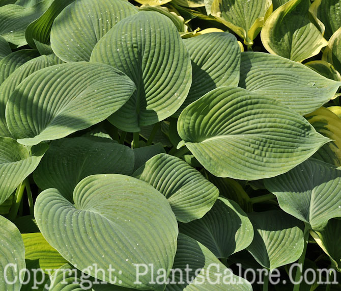 Hosta 'Blause Boot' from The Hosta Helper - Presented by ...