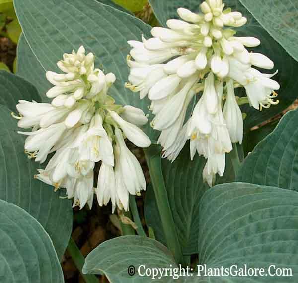 Hosta white flower choice image flower decoration ideas hosta white flower images flower decoration ideas hosta white flower gallery flower decoration ideas hosta brother mightylinksfo