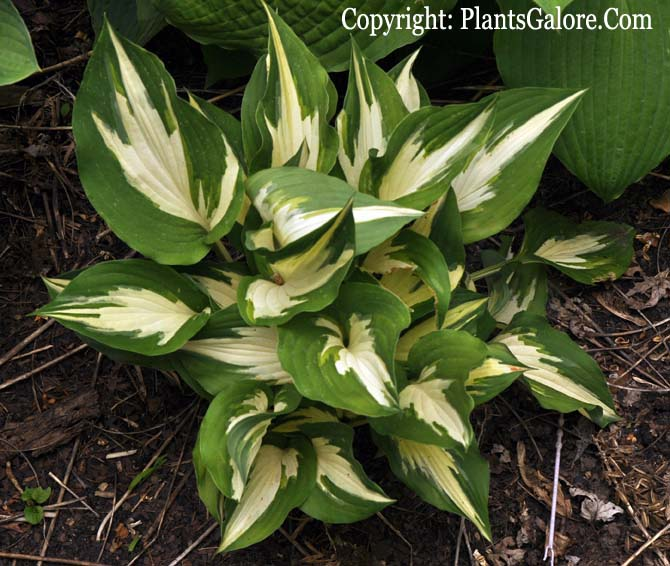 Hosta Christmas Candy From The Helper Presented By Plantsgalore Com