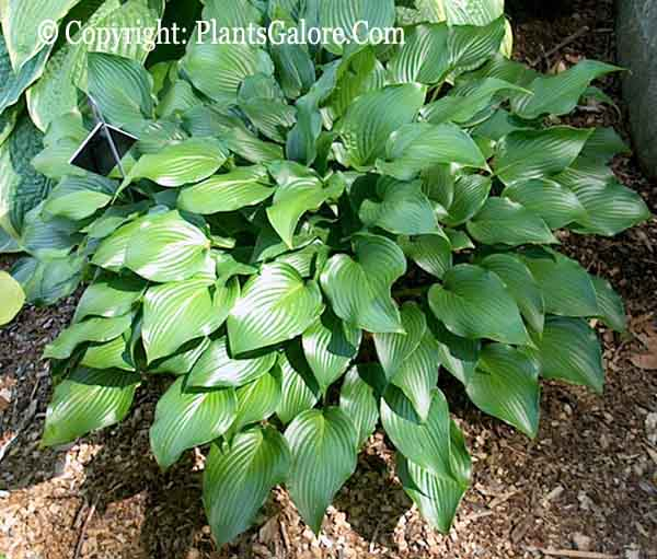 Hosta 'Grand Finale' from The Hosta Helper - Presented by