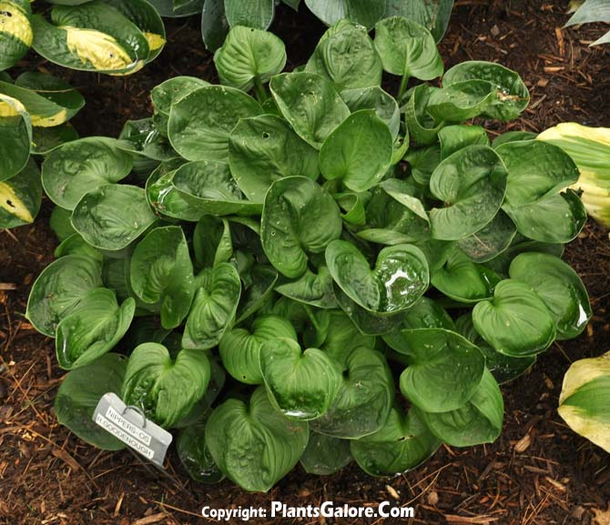 Hosta 'Nippers' from The Hosta Helper - Presented by ...