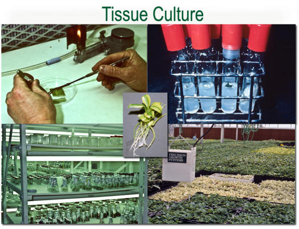 Hosta Propagation: Tissue Culture from The Hosta Helper