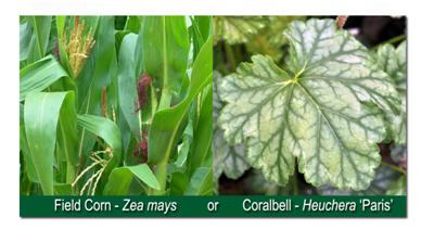 information dicot plant
