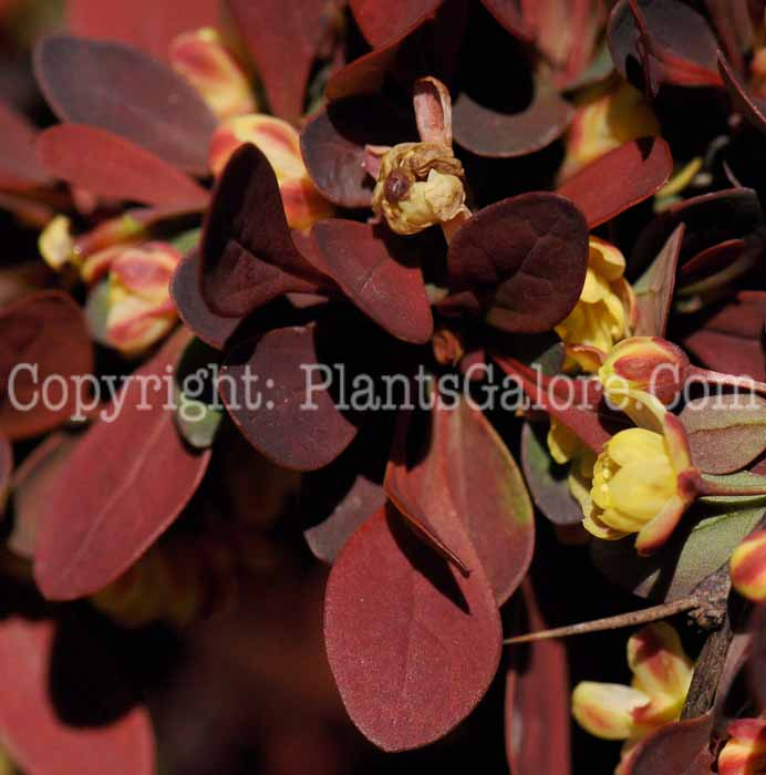 Berberis Thunbergii Atropurpurea Crimson Pygmy PGC-S-Berberis-thunbergii-